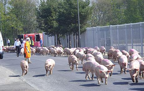 Pigs_1391151c