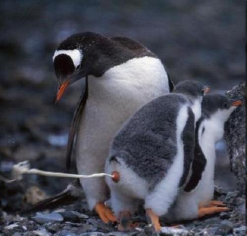 Пингвин пенис