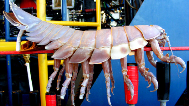 Giant Isopod 2_doomsday_604x341