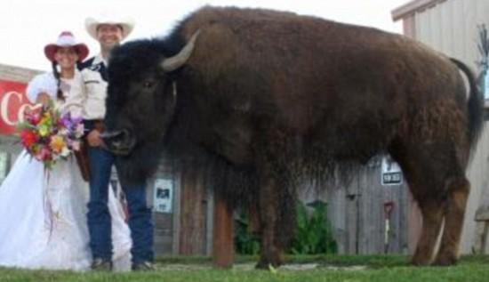 Pet-buffalo-550x317
