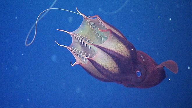 Vamp-squid 660