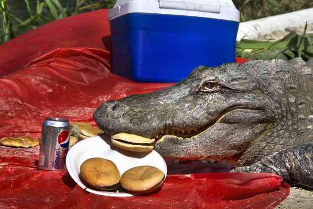 Alligator-picnic