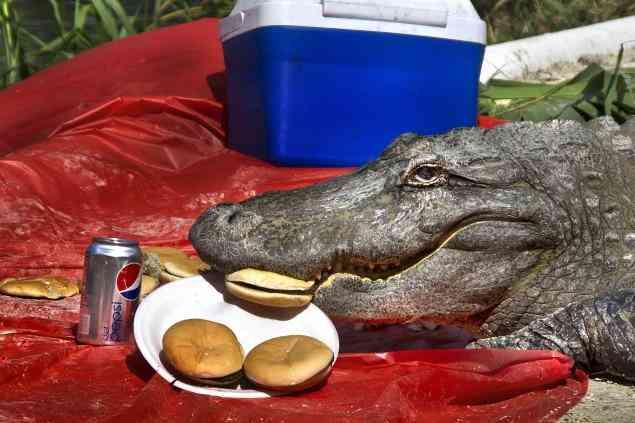 Alligator-picnic