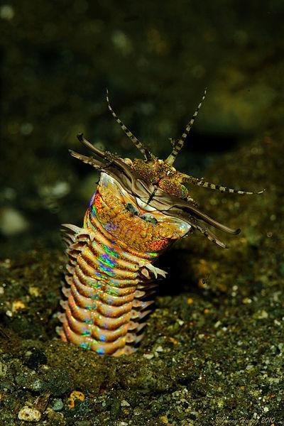 Bobbitt-worm