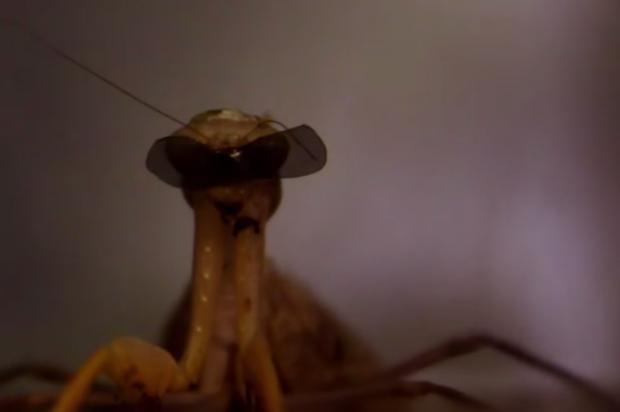 Prating mantis