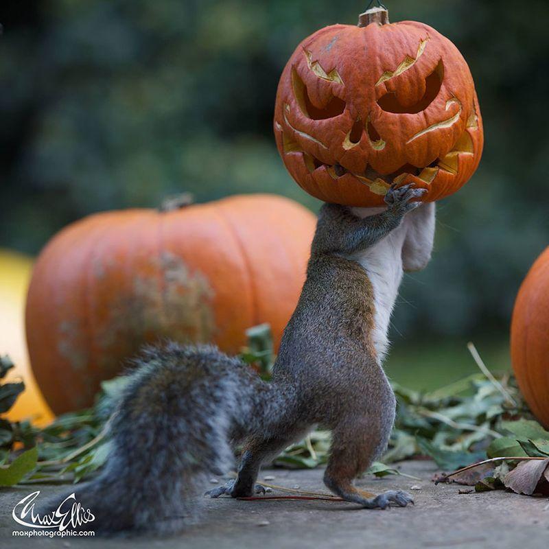 Squirrel-steals-carved-pumpkin-max-ellis-6