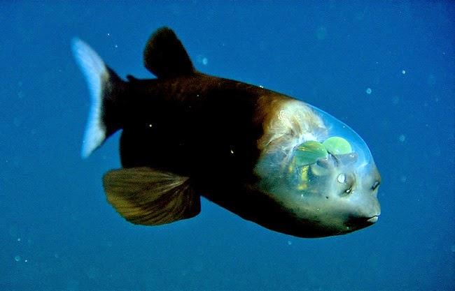 Weird Animal - Pacific barreleye fish