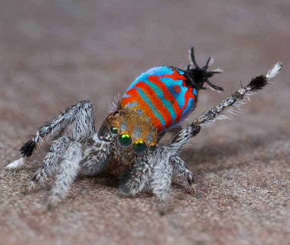 Maratus_jactatus_male_photo_1