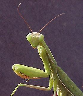 Praying_mantis
