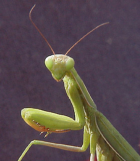 Praying_mantis_2