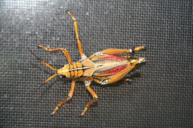 Grasshhopper