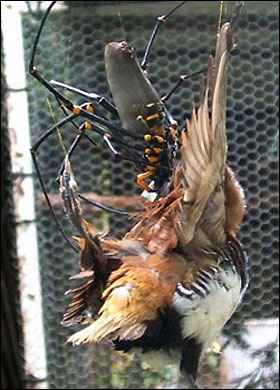 Spider_eatingbird__625717a